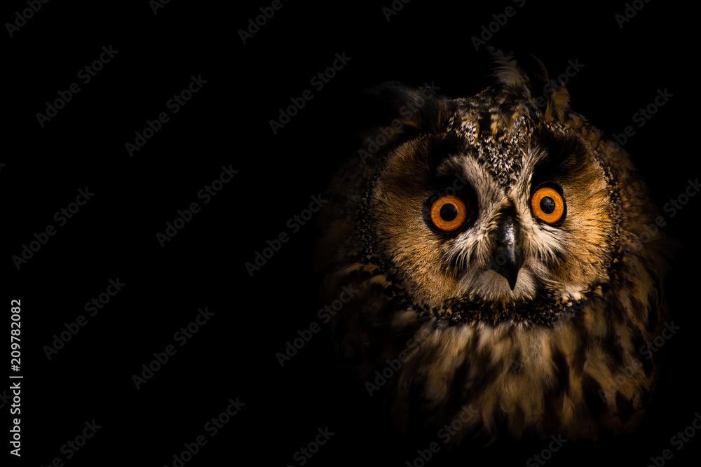 Fototapety, obrazy: Asio otus, the owl, at black background