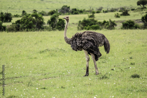 Poster Struisvogel Ostrich Stands Still and Watches the African Savannah in the Masai Mara National Reserve in Kenya