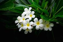Close Up Plumeria White Flower...