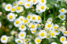 Beautiful Erigeron Annuus Clos...