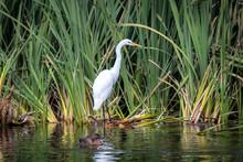 White Heron Kotuku Wades Throu...
