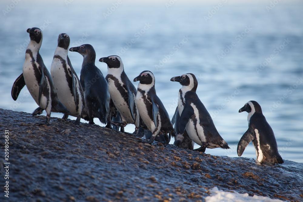 Cute wild penguin antics on the beach