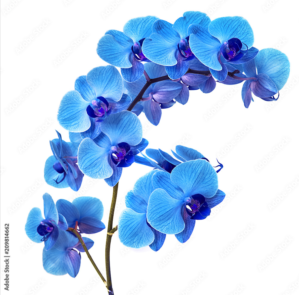 Fototapety, obrazy: beautiful blue Orchid without background, bright blue Orchid flowers on a white background.