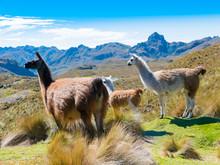 Llamas At The Cajas Park Cuenca