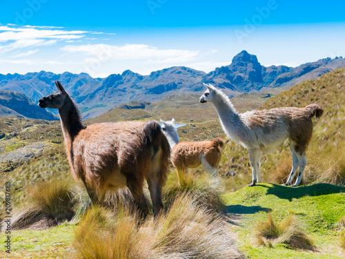 Ecuador Cuenca llamas at the Cajas park