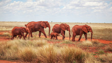 Group Of Elephants (Loxodonta ...