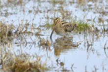 Common Snipe Searching Food In...