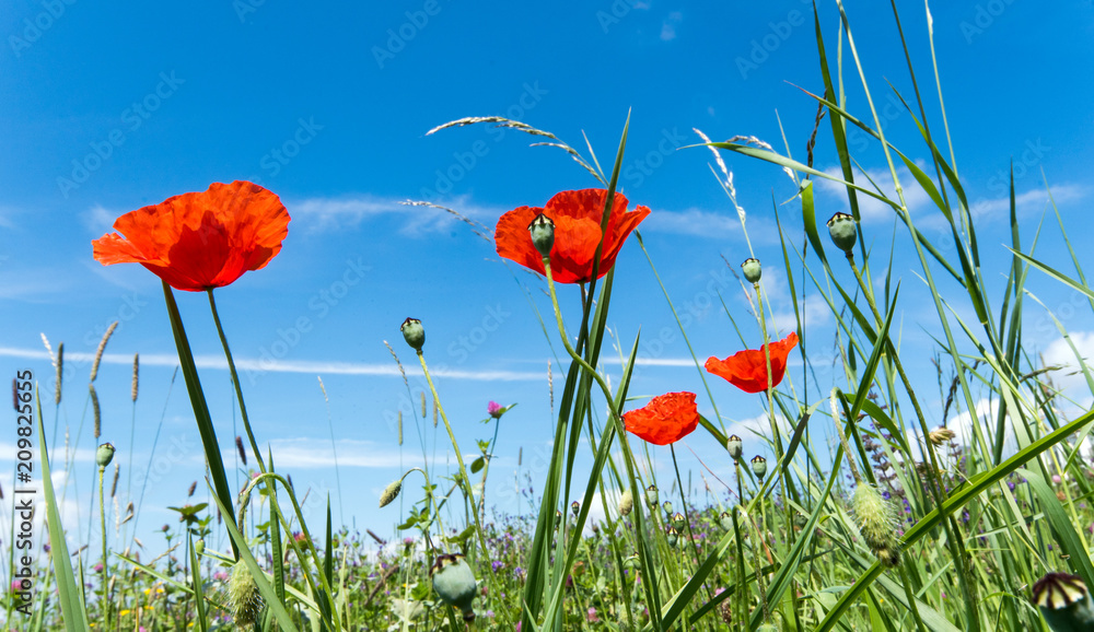 Summer happiness, love of life: wonderful meadow with red poppies :)