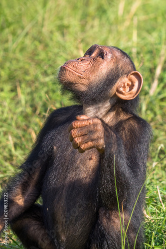 Fotobehang Leeuw Chimpanzee consists of two extant species: the common chimpanzee and the bonobo. Together with humans, gorillas and orangutans they are part of the family Hominidae (the great apes). (Pan troglodytes)