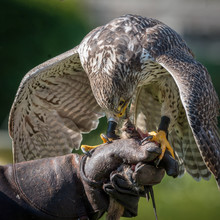 Gyrfalcons (Falco Rusticolus) Are The Largest Falcon Species. The Bird Is Sitting On The Fist Of The Falconer At The Falconry.