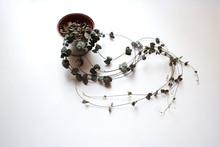 Ceropegia Woodii Potted Plant Isolated On White Background
