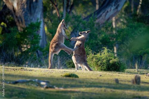 Photo  Macropus giganteus - Eastern Grey Kangaroos fighting with each other in Tasmania