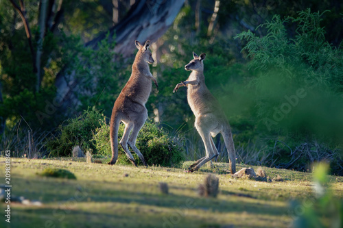 Macropus giganteus - Eastern Grey Kangaroos fighting with each other in Tasmania Wallpaper Mural
