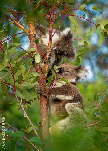 Garden Poster Koala Koala - Phascolarctos cinereus on the tree in Australia, eating, climbing