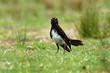 Willie-wagtail - Rhipidura leucophrys - black and white young australian bird, Australia, Tasmania