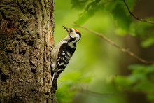 Lesser Spotted Woodpecker - Dendrocopos Minor Feeding His Chicks In The Nesthole On The Tree