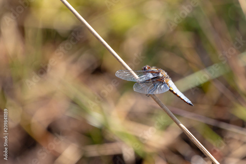 Photo Perched chaser 4
