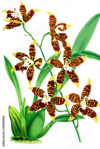 Fotobehang Draw Illustration of orchid