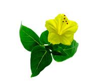 Yellow Flower Of Mirabilis Jalapa Plant