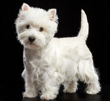 West Highland White Terrier Do...
