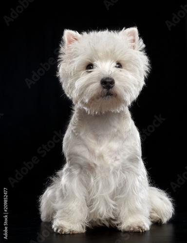 Fototapeta West highland white terrier Dog  Isolated  on Black Background in studio obraz
