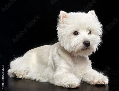 Fototapeta West highland white terrier Dog  Isolated  on Black Background in studio obraz