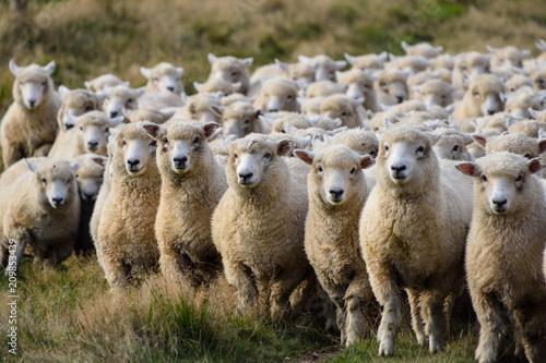 Fotobehang Schapen Sheep on Road trip in New Zeland