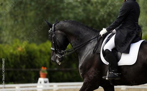 Head shot closeup of a dressage horse during competition event Fototapeta