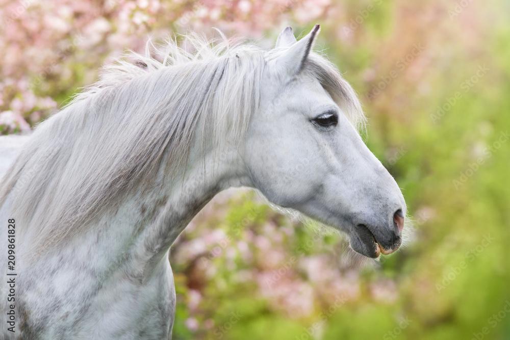 Fototapety, obrazy: Biały piekny koń