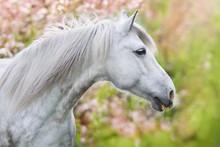 White Horse Portrait In Spring...
