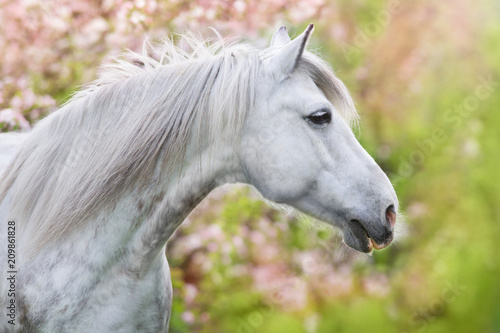 Fototapeta White horse portrait in spring pink blossom tree obraz