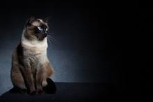 Thai Siamese Cat On A Black Ba...