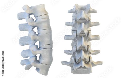 Fototapeta Human vertebrae anatomy