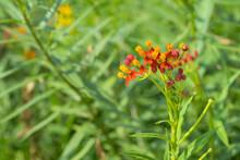 Blood Flower,Milkweed Or Butte...