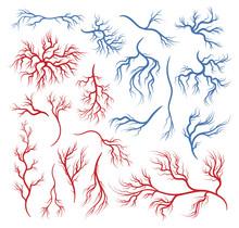 Human Veins And Arteries