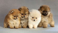 Four Pomeranian Puppy Dog Port...