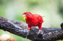 Red Lory In The Park