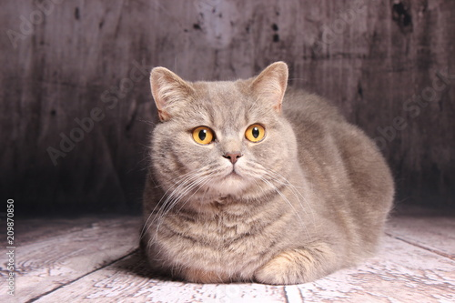 Foto  Britisch Kurzhaar Katze - grau