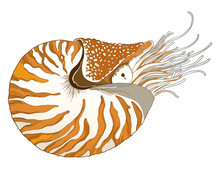 Vector Drawing Of Nautilus Pom...