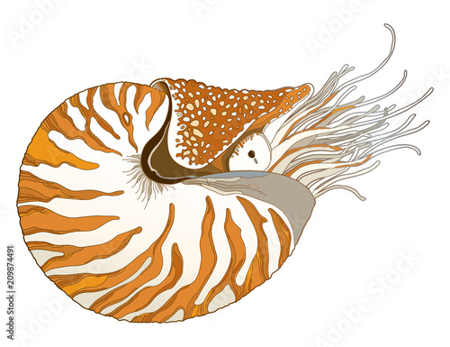 Valokuva  Vector drawing of Nautilus Pompilius or chambered nautilus in ornate striped shell isolated on white background
