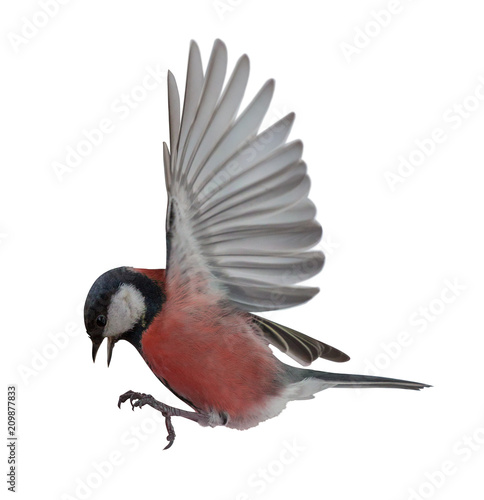 Photo  photo of red tit in flight