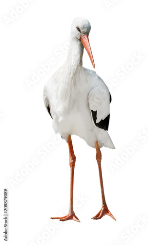 Obraz na płótnie isolated single stork standing on two legs