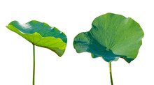 Lotus Leaf Isolate 2 Collection Of White Background