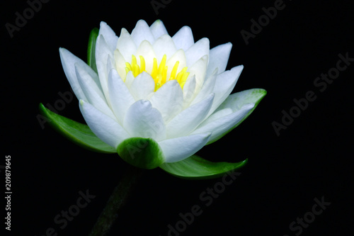 Fotografía White water lily isolated on dark backgraound