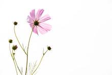 Beautiful Pink Color Cosmos Fl...