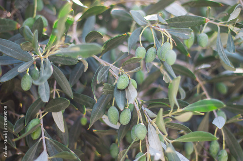 Spoed Foto op Canvas Olijfboom olive, tree, hobby, nature, nackground, garden, gardening, harvest, oil, colour, green,