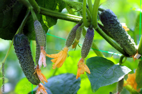 Young blooming plant cucumber with yellow flowers. Juicy fresh cucumber close-up macro on a green background of leaves