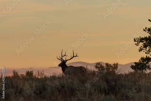 Photo  Bull Elk Silhouetted at Sunrise