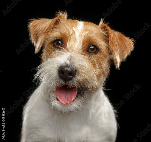 Obraz Jack Russell Terrier Dog on Isolated Black Background in studio - fototapety do salonu