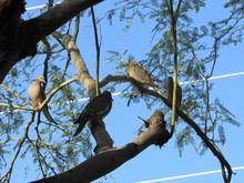 Mourning Doves (Zenaida Macrou...